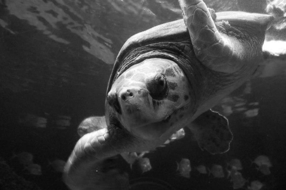 A turtle from the Virginia Aquarium.